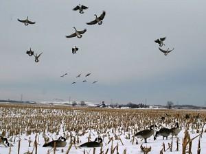 geese_landing