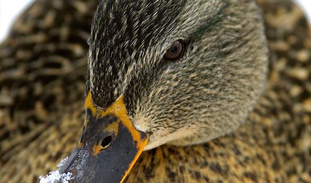 hen_closeup