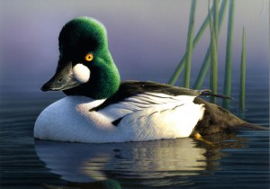 2013-2014 Duck Stamp by  Robert Steiner, CA