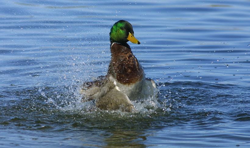 mallard_drake_splash