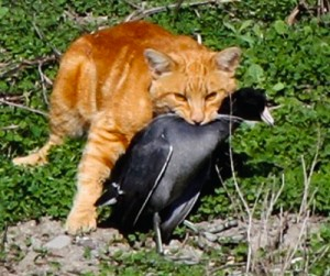 Cat with American Coot by Debi Shearwater.