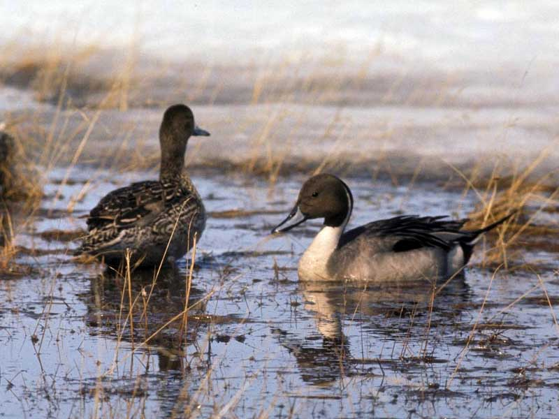 Pintail Pair, photo by Mickelson, Peter - USFWS