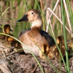 Canvasback hen with ducklings:  © USFWS