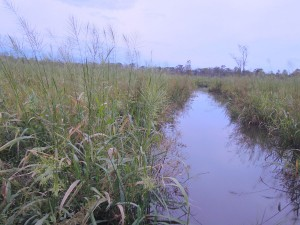 wild-rice-USFWS