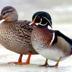 winter_ducks