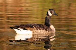 early_goose_2015